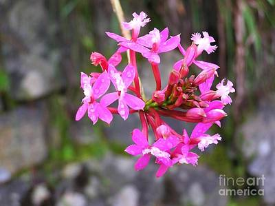 Photograph - Inca Trail Orchid by Michele Penner
