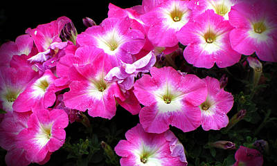 Photograph - Pink Petunias by Ms Judi