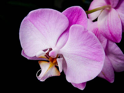 Photograph - Pink Phalaenopsis by Chua  ChinLeng