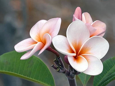 Photograph - Pink Plumeria  Hawii by James Steele
