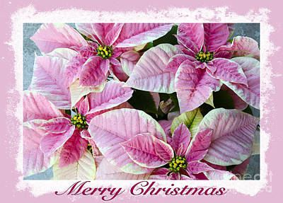 Photograph - Pink Poinsettias by Jim And Emily Bush