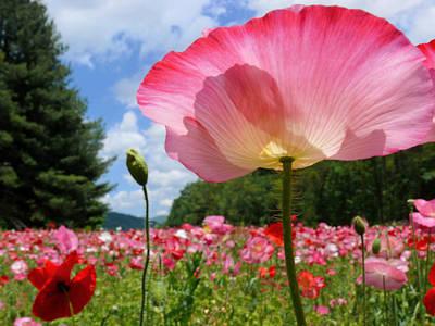 Pink Poppy Petals Shine Above A Field Art Print