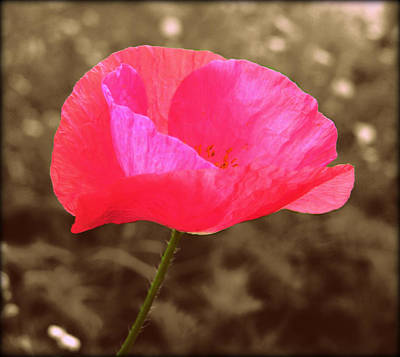 Photograph - Pink Poppy by Susie Weaver
