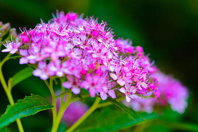 Spirea Photograph - Pink Puff by David Waldo