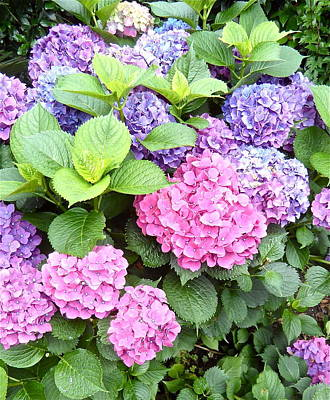 Photograph - Pink Purple Hydrangeas by Kume Bryant