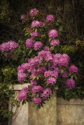 Photograph - Pink Rhododendron by Cheryl Davis