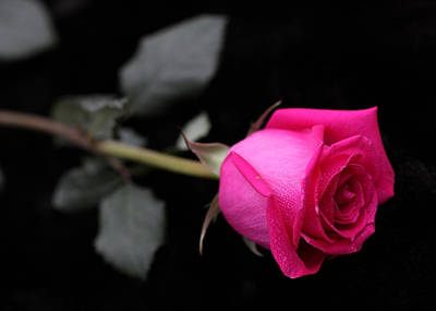 Photograph - Pink Rose 2 by Sheila Kay McIntyre