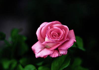 Pink Rose Art Print by Annfrau