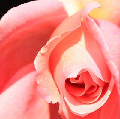 Photograph - Pink Rose Blooming by Donna Corless