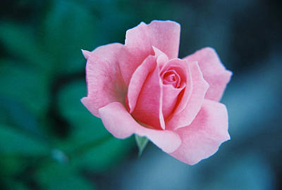 Photograph - Pink Rose by David Wohlfeil