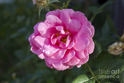 Photograph - Pink Rose by Donna Munro