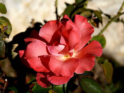 Photograph - Pink Rose I by James Granberry