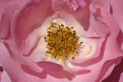 Photograph - Pink Rose by Matthias Hauser