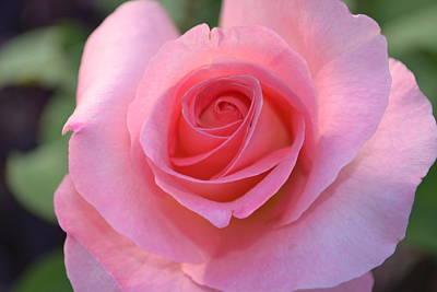 Pink Rose Art Print by Naomi Berhane
