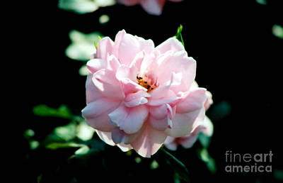 Photograph - Pink Rose by Susan Stevenson