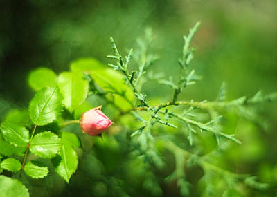 Photograph - Pink Rosebud With Cypress by Rebecca Sherman