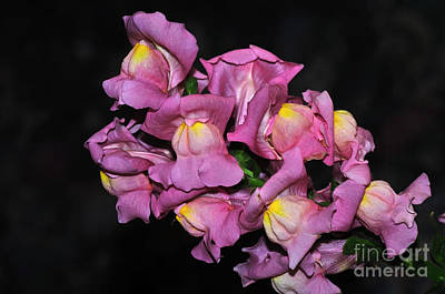 Antirrhinum Photograph - Pink Snapdragons by Kaye Menner