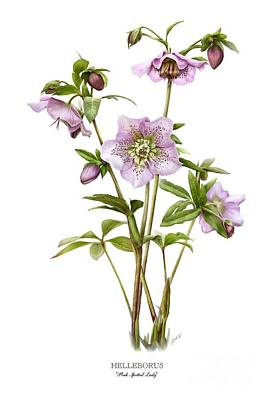 Painting - Pink Spotted Lady Hellebores by Artellus Artworks
