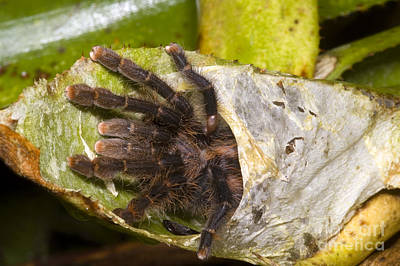 Pink-toed Tarantula Photograph - Pink Toe Tarantulas by Dante Fenolio