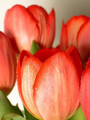 Pink Tulips 1 Original