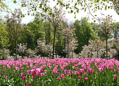 Photograph - Pink Tulips And Blossom 2 by Robert Shard