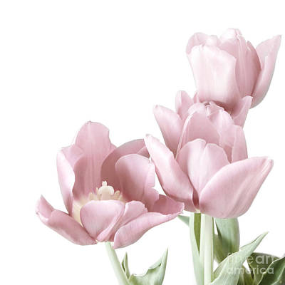 Pink Tulips Art Print by HD Connelly