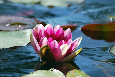 Photograph - Pink Water Lily by Amee Cave