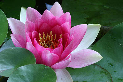 Photograph - Pink Water Lily by Daniel Reed