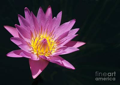 Photograph - Pink Water Lily Kissing The Sunshine by Sabrina L Ryan
