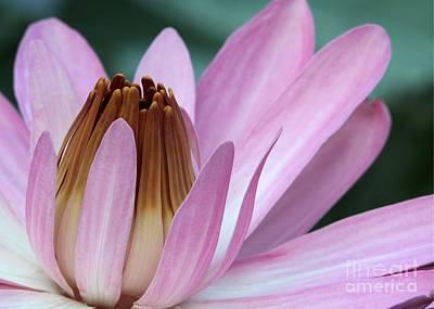 Pink Water Lily Macro Art Print