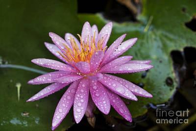 Lili Photograph - Pink Water Lily Nymphaea Caerulea by Yossi Aptekar