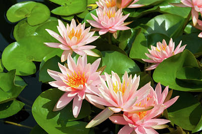 Photograph - Pink Water Lily by Steve Stuller