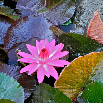 Photograph - Pink Waterlily And Colorful Leaves by Kirsten Giving