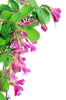 Art Print featuring the photograph Pink Weigela Postcard by Aleksandr Volkov