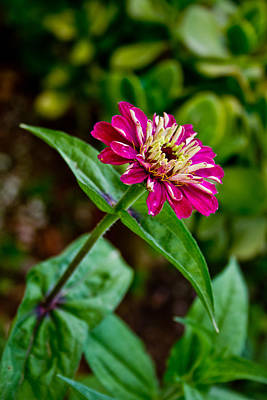 Photograph - Pink Zinnia by Nadya Ost