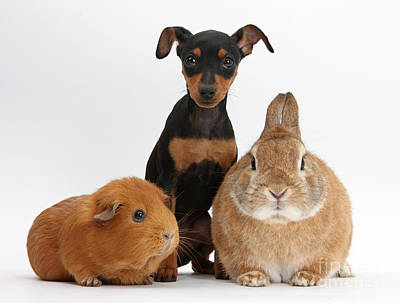 Pinscher Puppy With Rabbit And Guinea Print by Mark Taylor