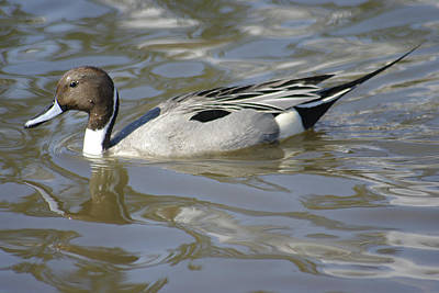 Pintail Duck Art Print by Marilyn Wilson