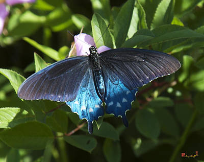 Photograph - Pipevine Swallowtail Din003 by Gerry Gantt