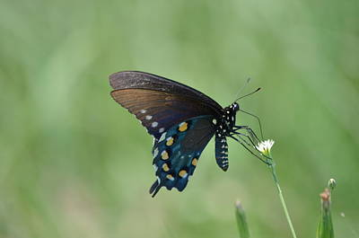 Pipevine Swallowtail Nectaring Print by Kathy Gibbons