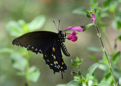 Pipevine Swallowtail Butterfly Photograph - Pipevine Swallowtail  by Saija  Lehtonen