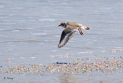 Photograph - Piping Plover Flying by Roena King