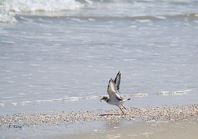 Photograph - Piping Plover In Flight by Roena King
