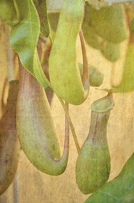 Photograph - Pitcher Plant by Jan Amiss Photography