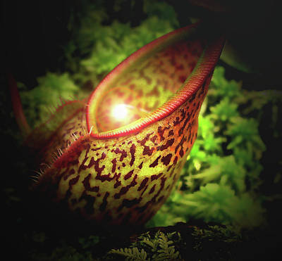 Faries Digital Art - Pitcher Plant Peekaboo by Kathleen Horner