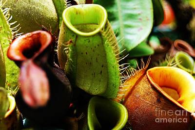 Photograph - Pitcher Plants by Angela Murray