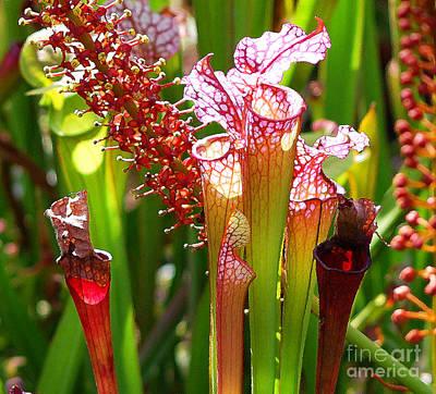 Botanic Photograph - Pitcher Plants by Nancy Mueller