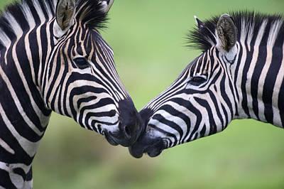 Plains Zebra (equus Quagga) Pair Interacting Art Print