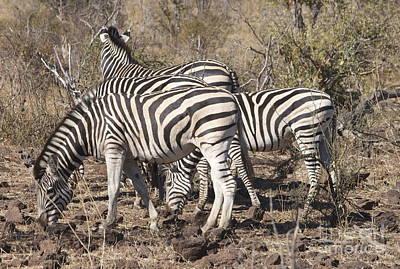 Wall Art - Photograph - Plains Zebras Grazing by Judith Hochroth
