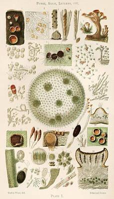 Plant And Fungi Microscopy, 19th Century Art Print by