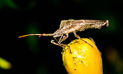 Photograph - Plant Bug by Barry Jones